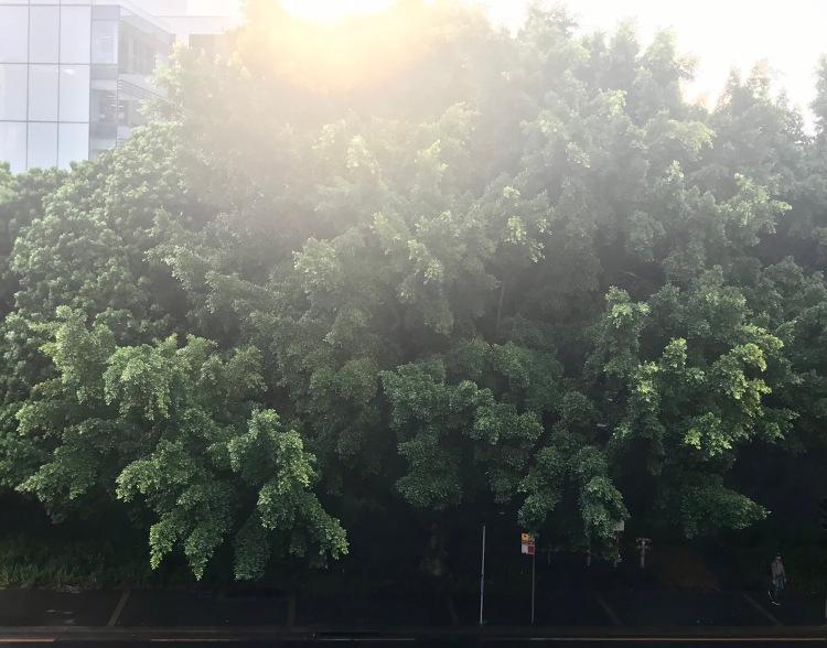 fig tree in sun